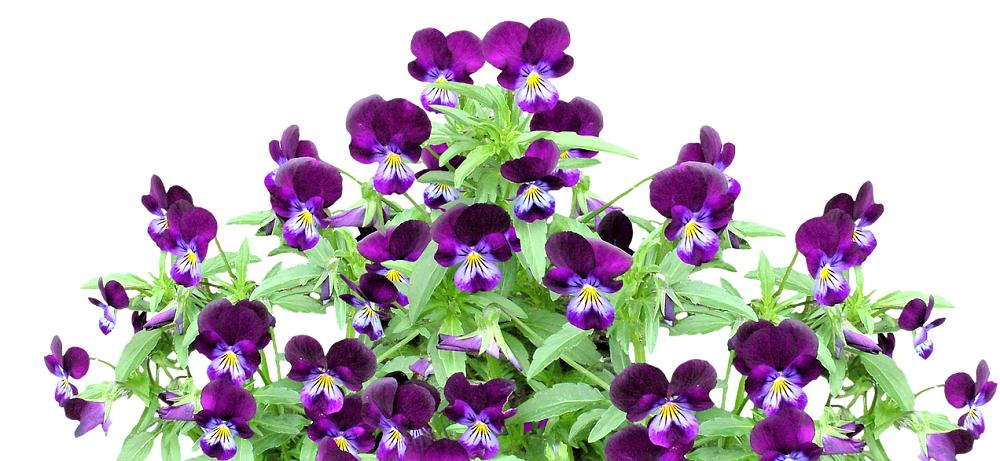 violette en fleurs